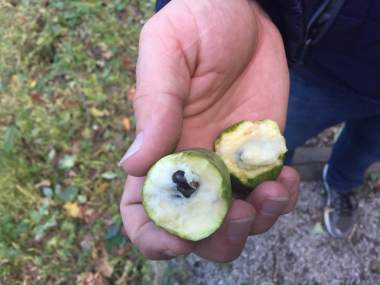 Pawpaw fruit- safe to eat and delicious!